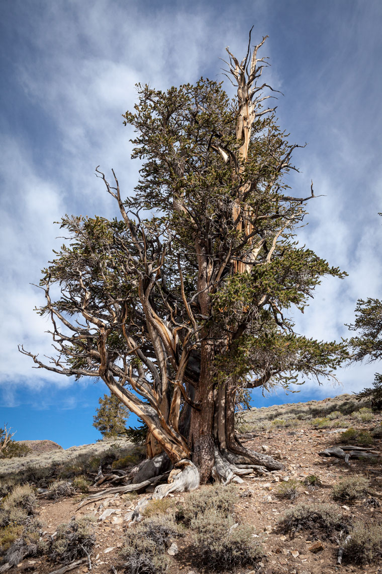 Bristlecone Pines in the White Mountains near Big Pine, CA