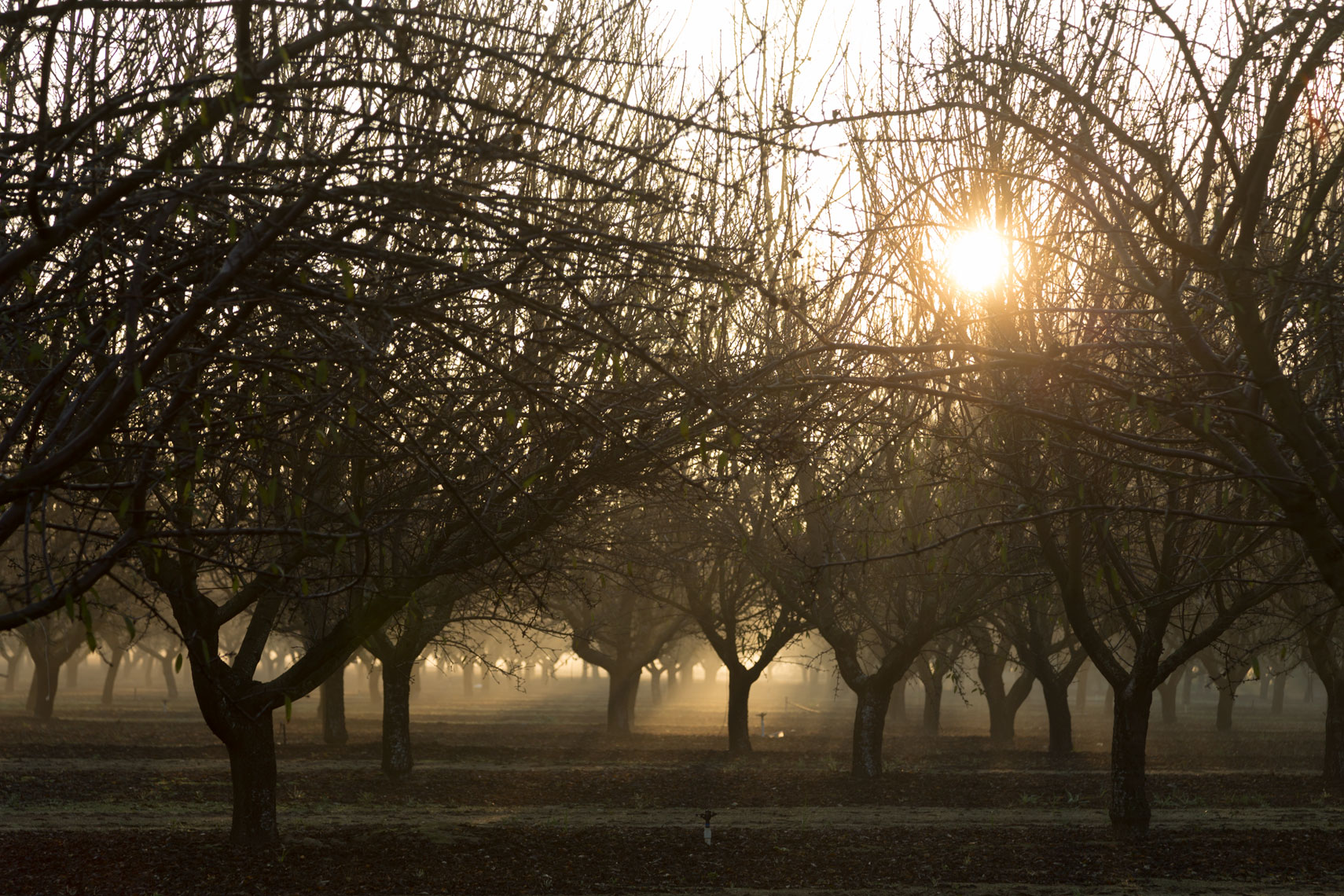 Central Valley Orchard Fog