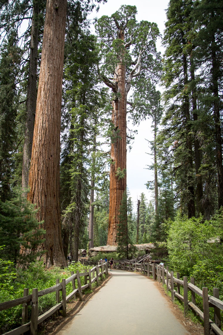Sequoia tree at Kings Canyon