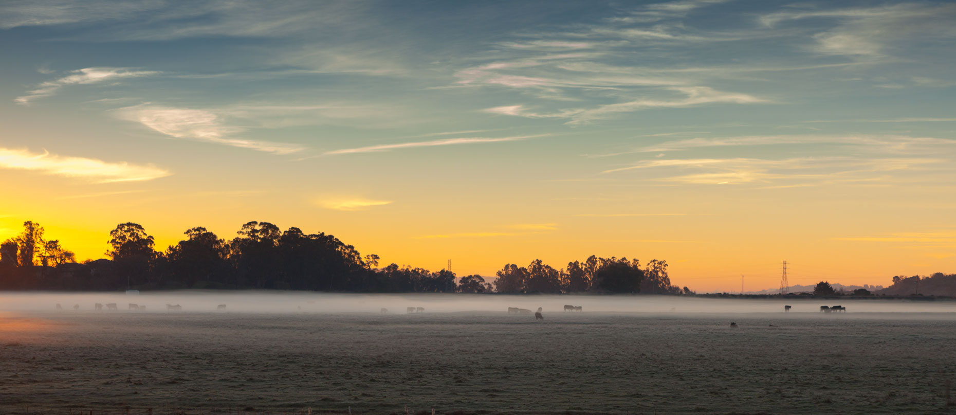 Cattle in the Fog at Sunrise
